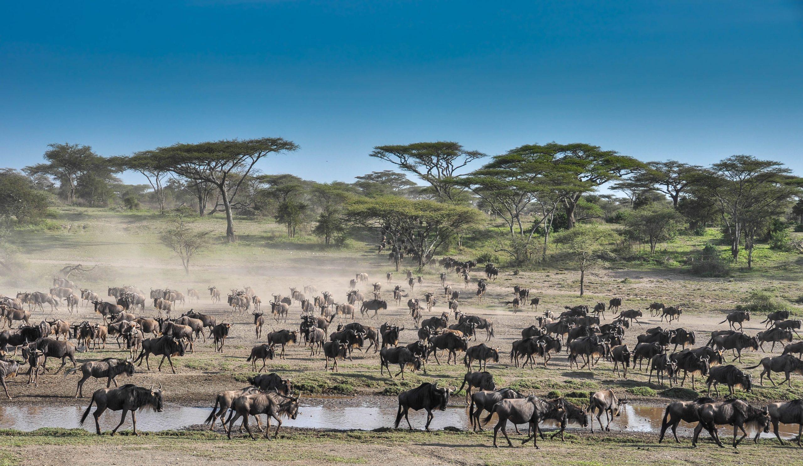 Ndutu migration 2